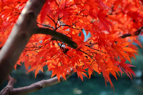 东莞旅游去哪里_秋天去日本赏枫叶