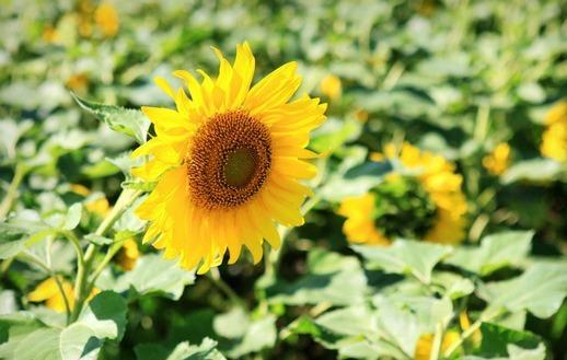 广州百万葵园赏花旅游
